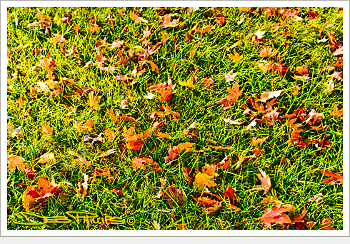 Autumn leaves scattered across the grass in Lewisville, North Carolina (Forsyth County) - Deb Phillips, photographer.