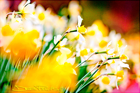Soft-focused daffodils in Deb's back yard in Lewisville, North Carolina (Forsyth County). Deb Phillips, photographer.
