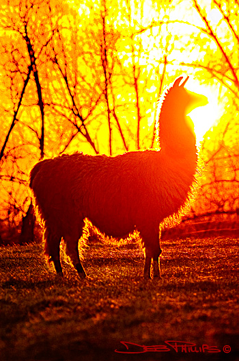 A llama in Lewisville, North Carolina (Forsyth County) appears to bask in the light of a brilliant sunset. Deb Phillips, photographer.