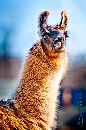 Rivermont Llamas on Yadkinville Highway in Lewisville, North Carolina is home to a number of llamas who spend their days grazing and basking in the sun. Deb Phillips, photographer.