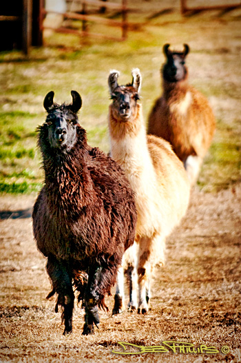 After a long period of careful observation, these three llamas decided the visiting photographer (Deb Phillips) was a friend, and they came forward for introductions!