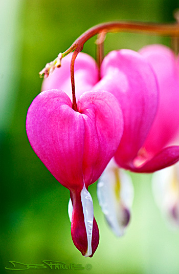 The flower, Dicentra spectabilis, is also known as a bleeding heart. Deb Phillips, photographer.