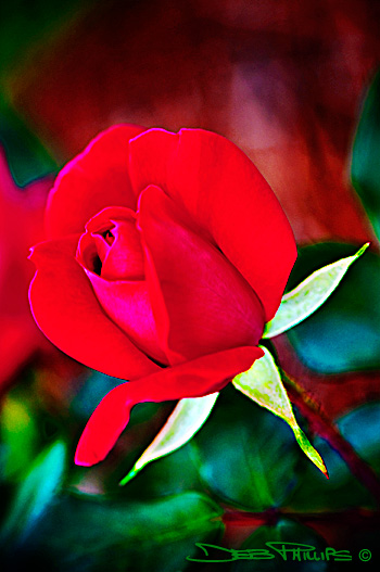 A Red Knockout Rose planted by Grace Jennings Phillips Spainhour. Deb Phillips, photographer.