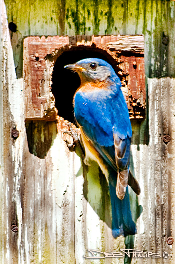 While scouting for flowers to photograph, I spotted this bluebird sitting at the entrance of an old birdhouse in Lewisville, North Carolina. Deb Phillips, photographer.