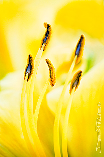 A close-up view of a daylily showing pollen atop long-stemmed stamens. Deb Phillips, photographer.