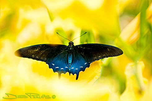 A male Pipevine Swallowtail Butterfly flies from flower to flower in Lewisville, NC. Photographer, Deb Phillips.