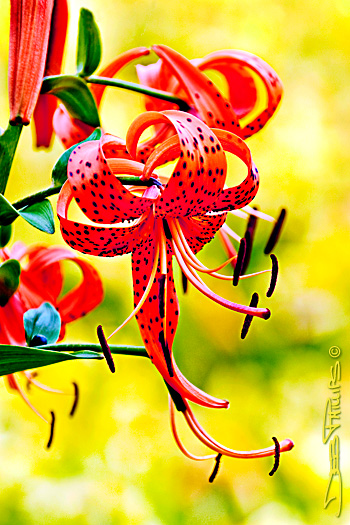 The blooms of a beautiful Turk's Cap Lily (Lilium superbum) hang in splendor before a blurred-out background of yellow daylilies. Deb Phillips was the photographer of this shot taken in Lewisville, NC (Forsyth County).