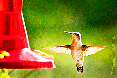 A hummingbird is poised to fly away.