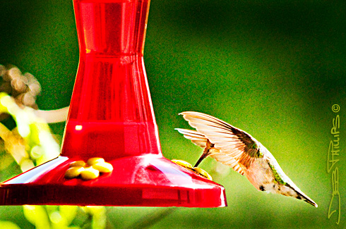 Hummingbird eating from a feeder
