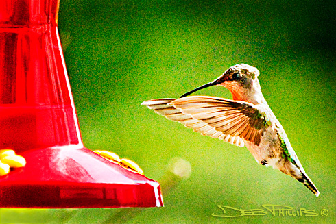 A female Ruby-Throated Hummingbird in Lewisville, NC (Forsyth County), photographed by Deb Phillips.